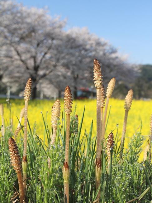 つくしと桜と菜の花と 金沢市太陽が丘