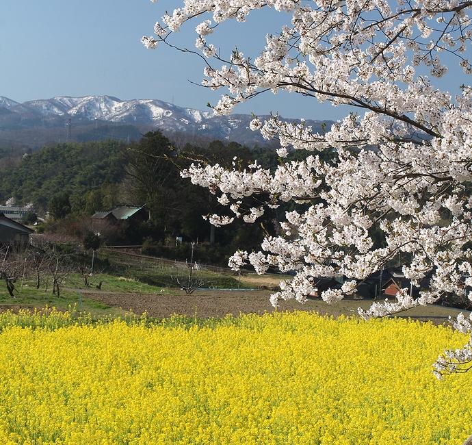 金沢・太陽が丘 桜と菜の花と残雪の山