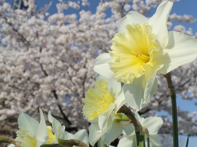 水仙と桜 春爛漫!