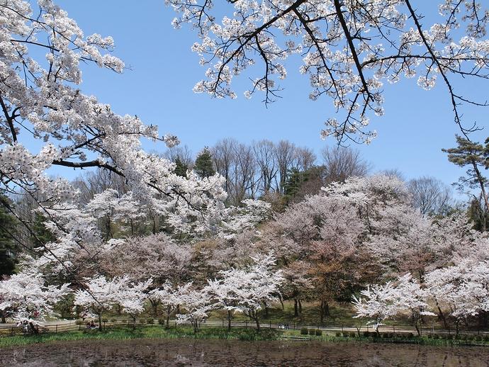 奥卯辰山健民公園の桜 石川県金沢市