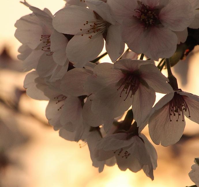 犀川河川敷 夕日と桜