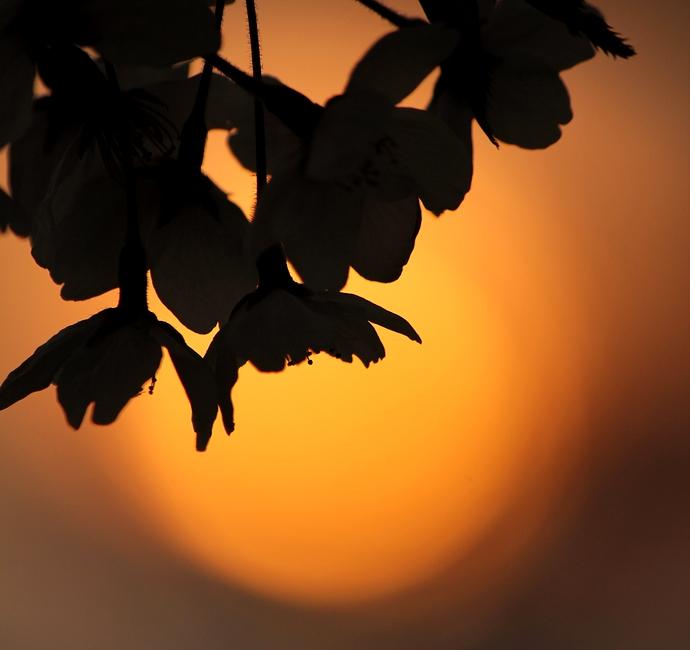 犀川河川敷 夕日と桜のシルエット