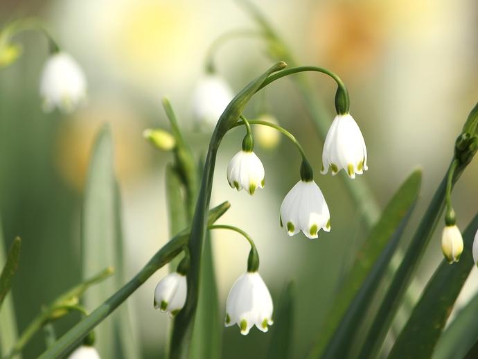 初夏の花 スノーフレーク