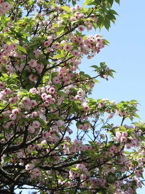 青空の下、満開の兼六園菊桜 兼六園にて