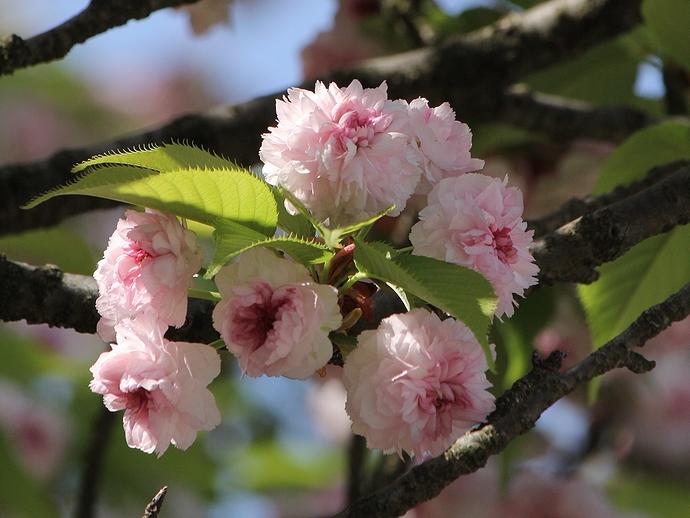 兼六園に咲く「ケンロクエンキクザクラ」