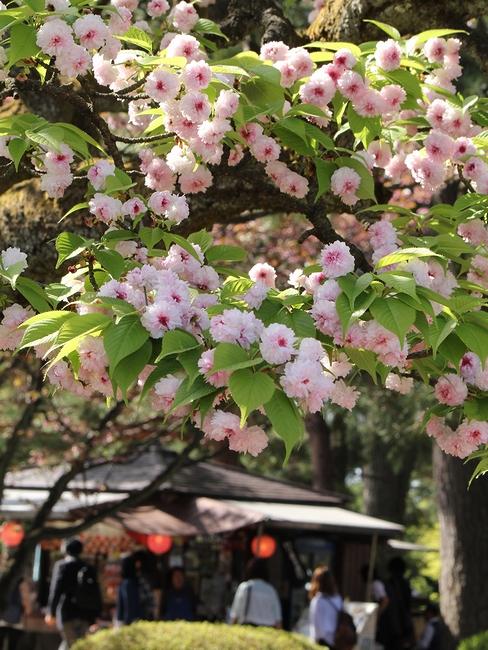 兼六園菊桜のある光景 金沢市兼六園にて