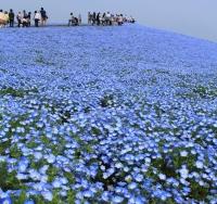 青一色の世界、ネモフィラの丘