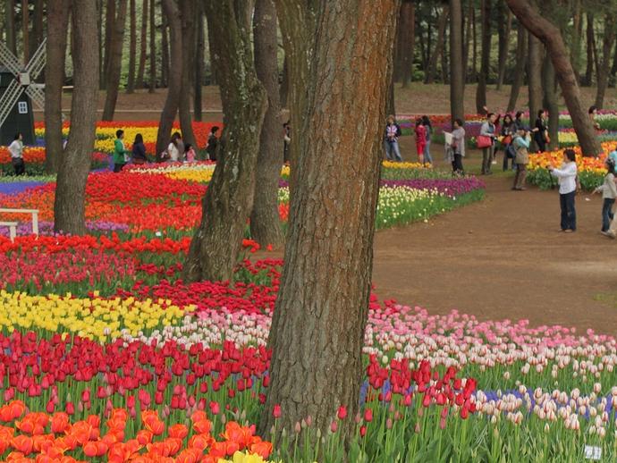 林に咲くチューリップ 樹間に彩り(ひたち海浜公園)