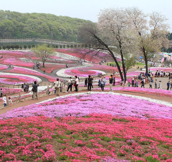 高崎市みさと芝桜まつりの様子