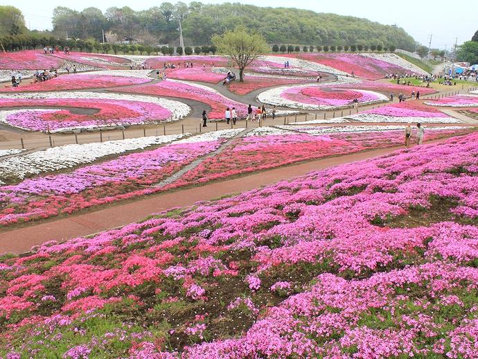 みさとの芝桜(高崎市)
