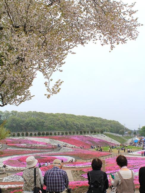 みさとの芝桜 桜の木とともに