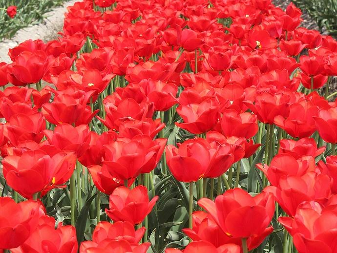 深紅のチューリップ畑(富山県南砺市)