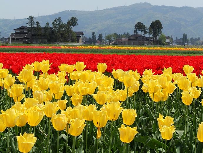 南砺市のチューリップ畑 赤と黄色のチューリップが満開