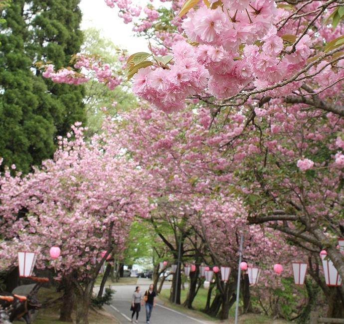 倶利伽羅峠 八重桜のトンネル