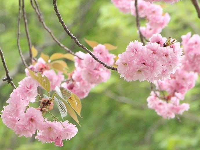 倶利伽羅峠 八重桜と新緑