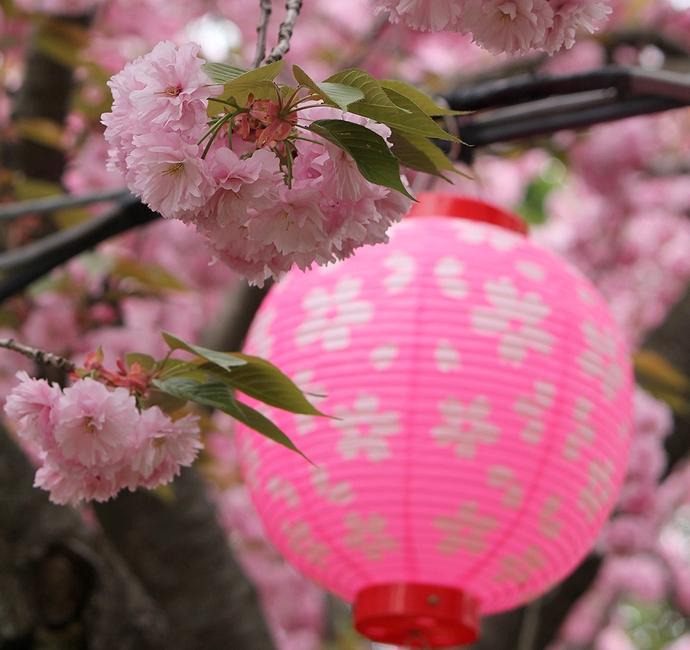 倶利伽羅峠の八重桜