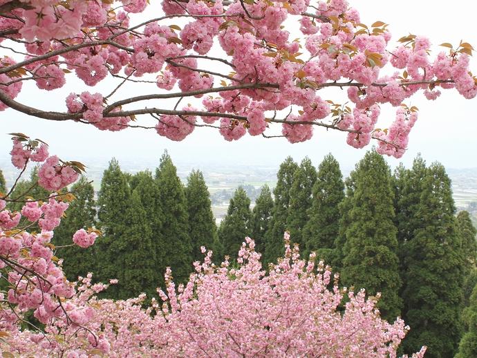 倶利伽羅峠の八重桜と霞む砺波平野