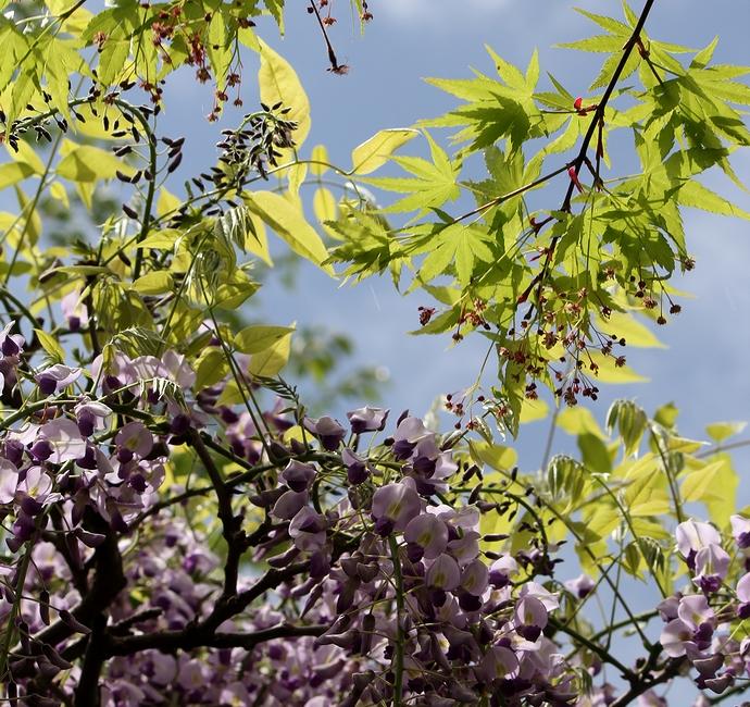モミジの青葉と藤の花