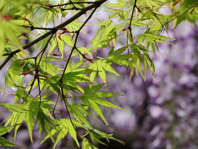 青葉のモミジと藤の花 白山市松任グリーンパークにて