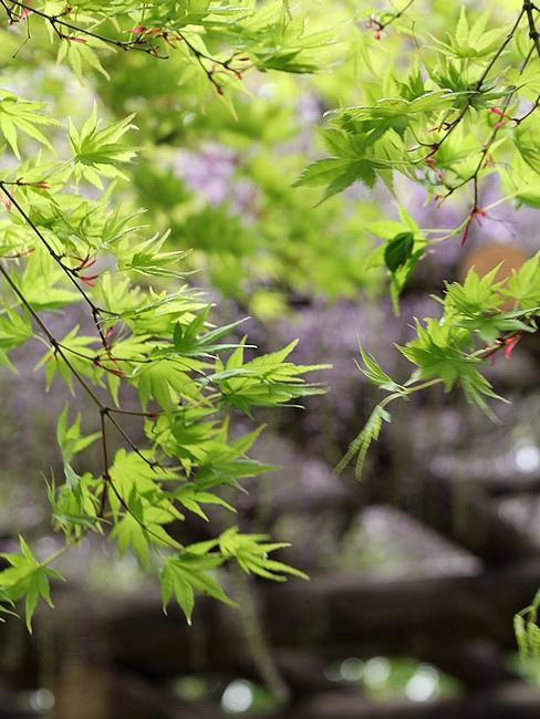 松任グリーンパーク 青葉のモミジと藤の花