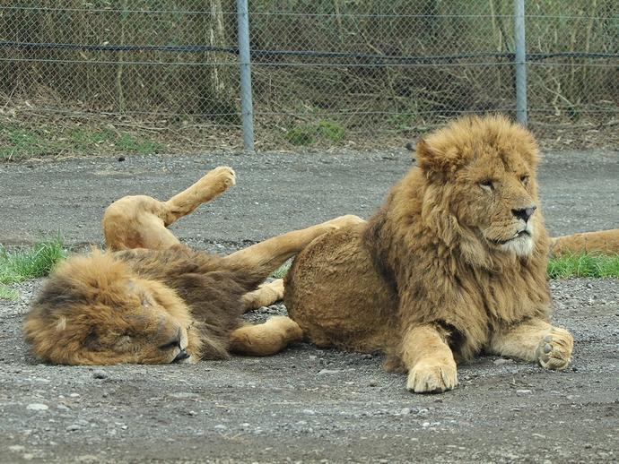 眠そうなライオンたち(富士サファリパーク)
