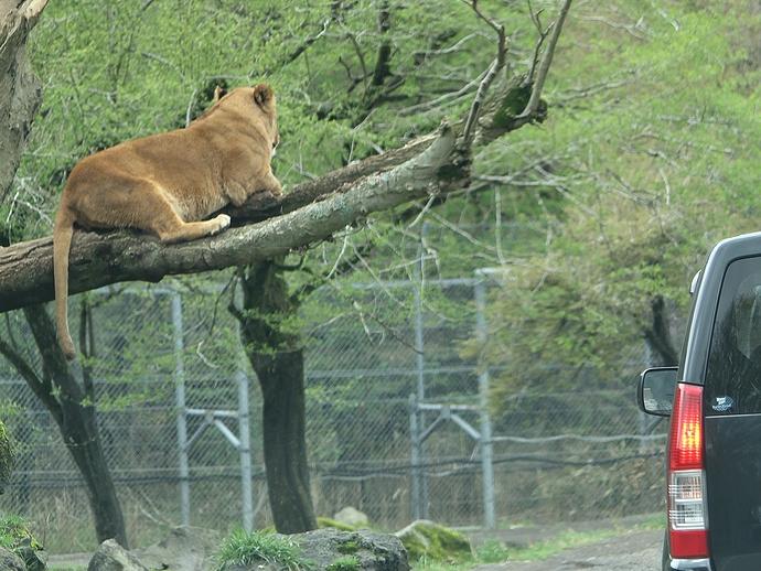富士サファリパーク 木の上にライオン
