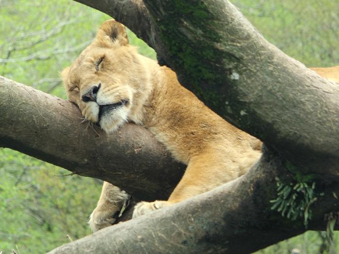 ライオン木の上で爆睡中(富士サファリパーク)