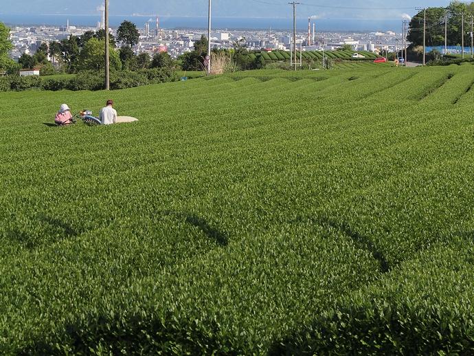 新緑の茶畑(静岡県富士市)