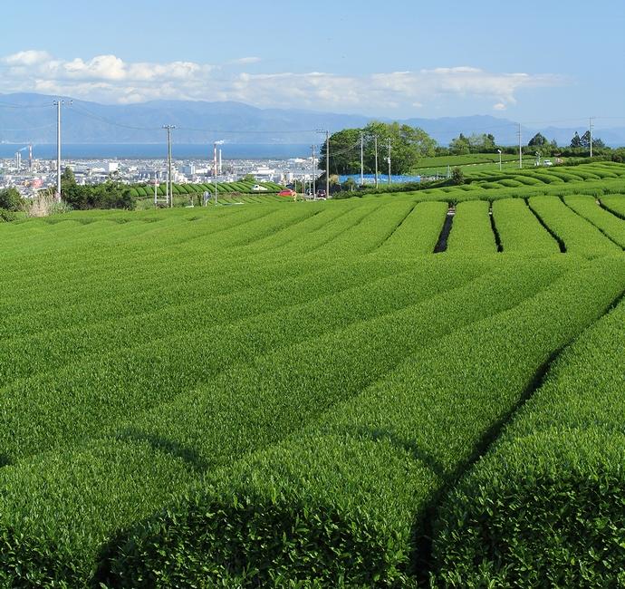 富士市岩本山付近の新緑の茶畑