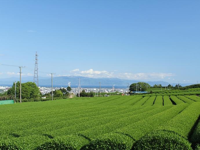 富士市岩本山山麓の茶畑