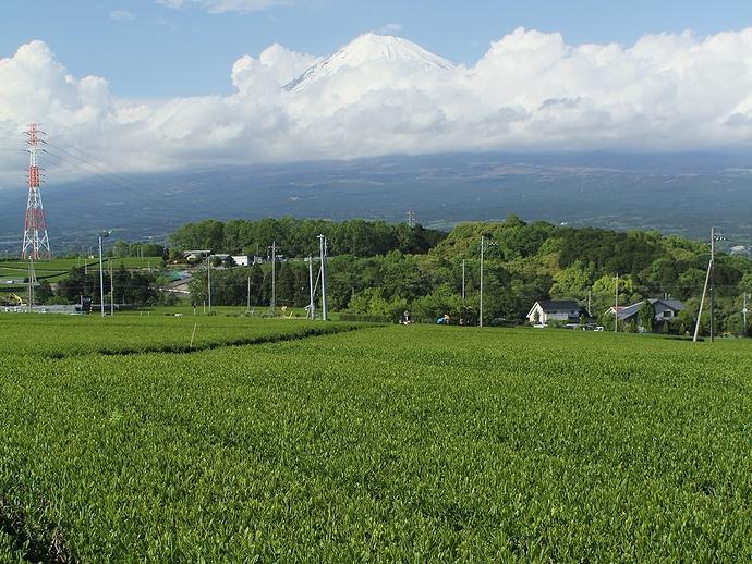 茶畑の向こうに富士山