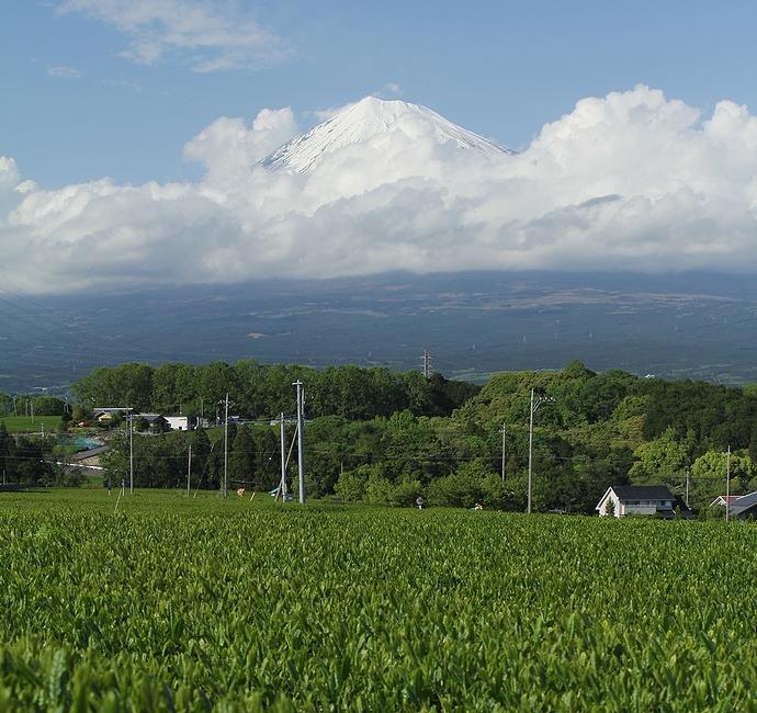 富士山と茶畑 静岡県富士市にて