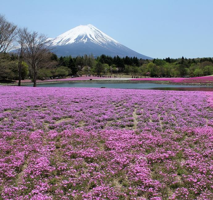 富士山と芝桜のコラボレーション(富士芝桜まつりにて)