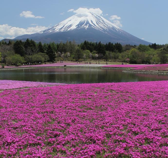 富士芝桜まつり 絵葉書のような光景