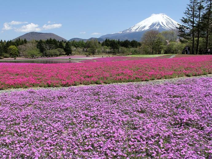 富士山と芝桜の絶景(富士芝桜まつり)
