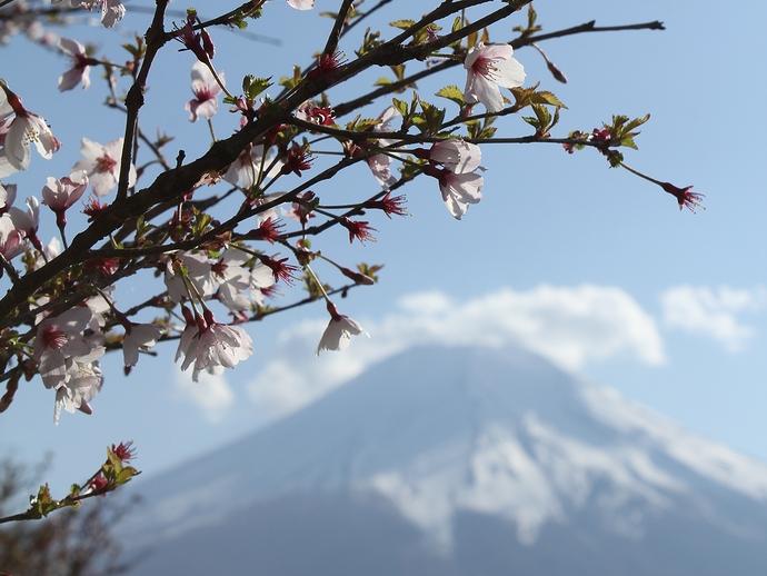 富士山と咲き残った桜(花の都公園にて)
