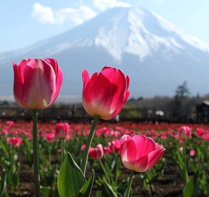 花の都公園 逆光の富士山とチューリップ