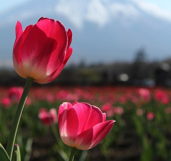 富士山とピンクのチューリップ(花の都公園にて)