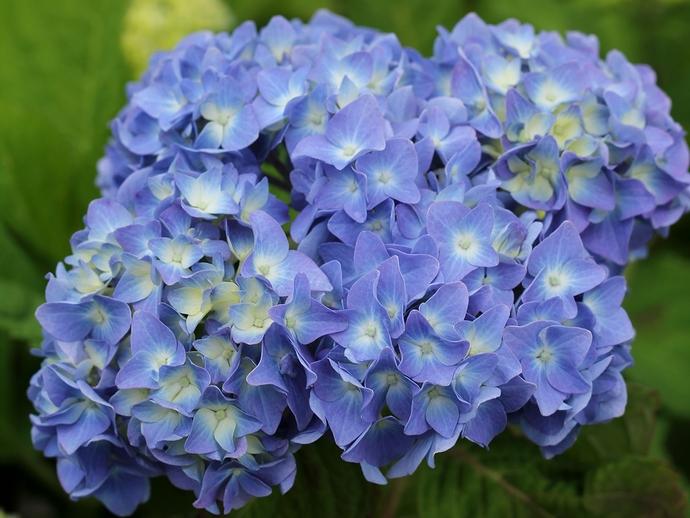 この夏初めて見た紫陽花(金沢市にて)