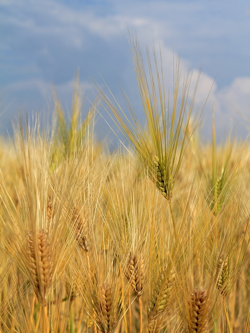 麦秋の麦畑 河北潟干拓地