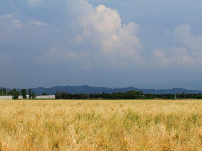 輝く麦畑と入道雲 内灘町河北潟干拓地にて