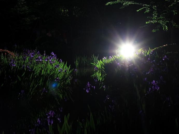 兼六園ライトアップ「初夏の段」 曲水を彩る杜若