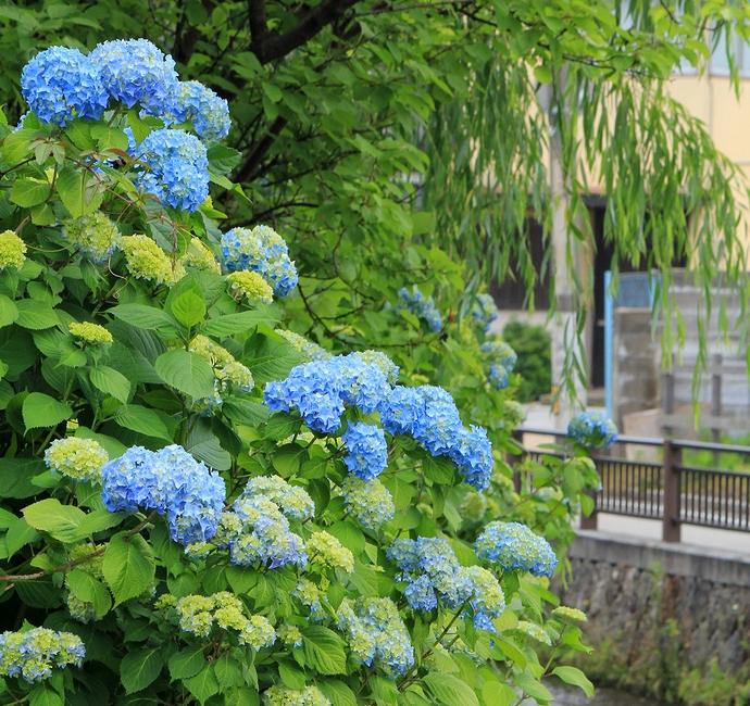 梅雨入り間近 鞍月用水に咲く紫陽花
