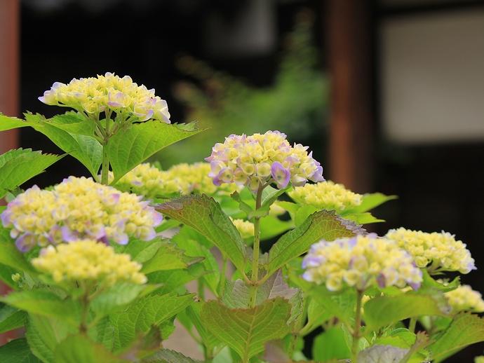 小さなお寺に咲く紫陽花 金沢市鞍月用水沿い