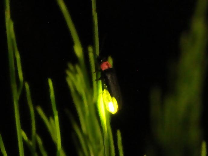 6月の夜蛍が出現(南砺市にて)