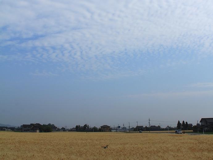 麦秋の麦畑と波状雲(南砺市にて)