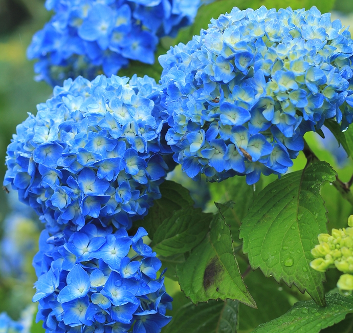 雨が似合う紫陽花(金沢市のあじさい寺本興寺にて)