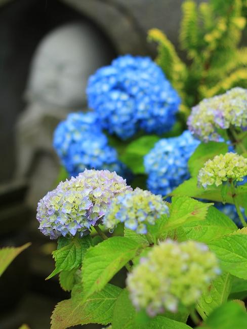金沢市あじさい寺本興寺 お地蔵さんと紫陽花