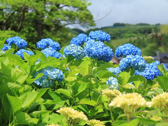 青空と紫陽花(金沢市本興寺にて)