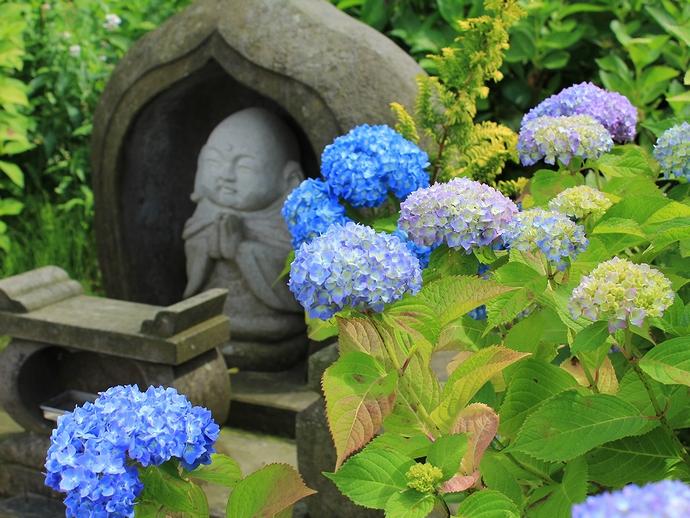金沢市あじさい寺 お地蔵さんと紫陽花